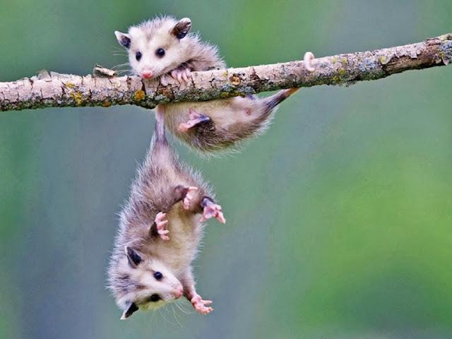 """<img src=""""http://2.bp.blogspot.com/-zUTgF04RrkE/UrAftTArpNI/AAAAAAAAF3I/5wc2BD_d_cg/s1600/terr.jpeg"""" alt=""""Rodents Animal wallpapers"""" />"""