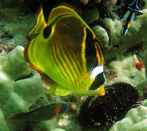 Raccoon butterflyfish