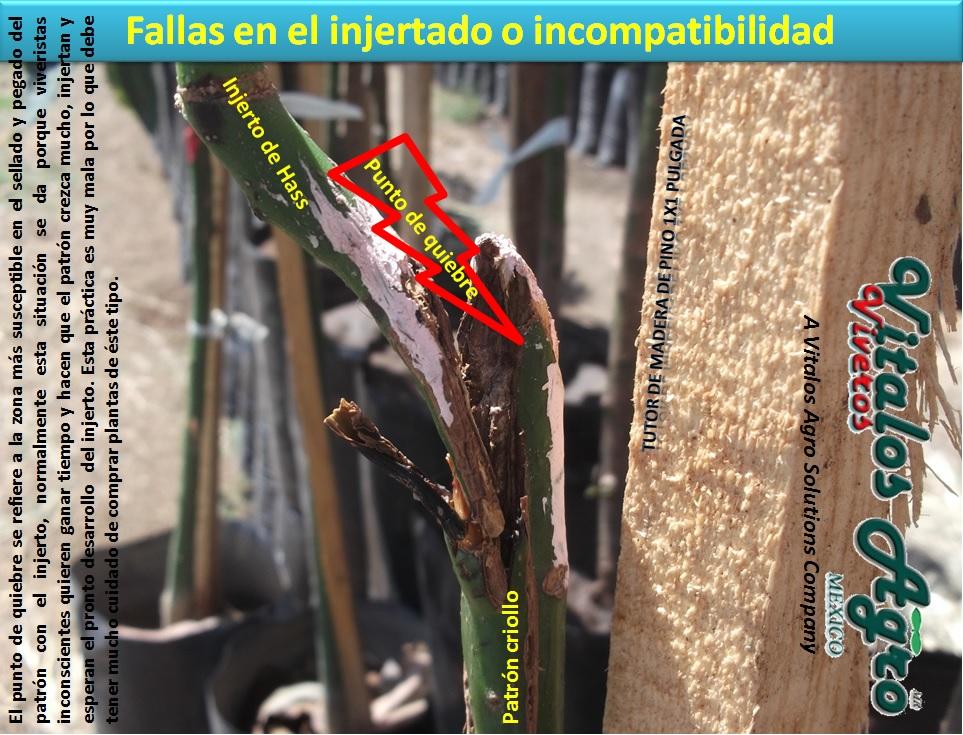 Problemas en los injertos e incompatibilidad el for Incompatibilidad en plantas