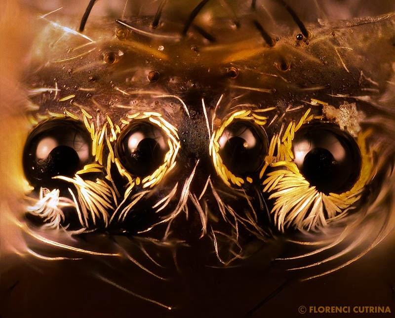 Micrommata virescens - El mundo de Hydra