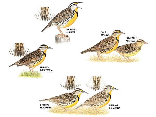 Eastern meadowlark vs western meadowlark