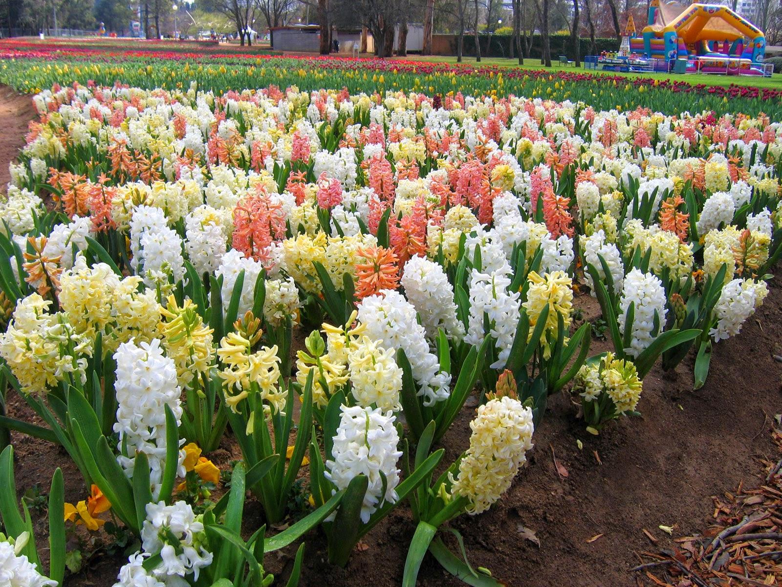 How To Grow Hyacinth Bulbs The Garden Of Eaden