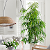 | Air purifying houseplants for indoors