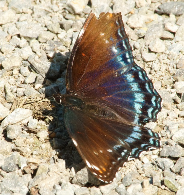 Banded Purple (Limenitis arthemis)