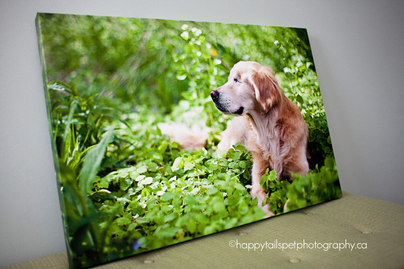 golden retriever on gallery wrap canvas: professional pet photography