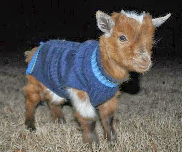 Funny animals of the week - 7 February 2014 (40 pics), baby goat wears sweater