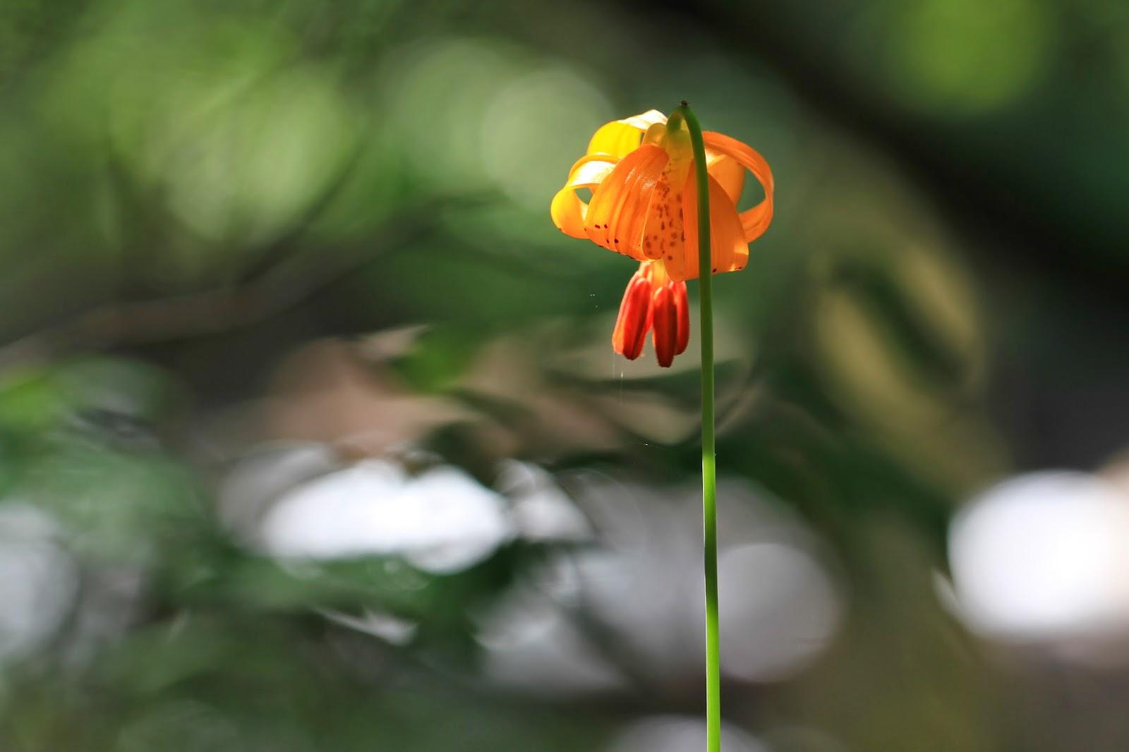 Lilium columbianum