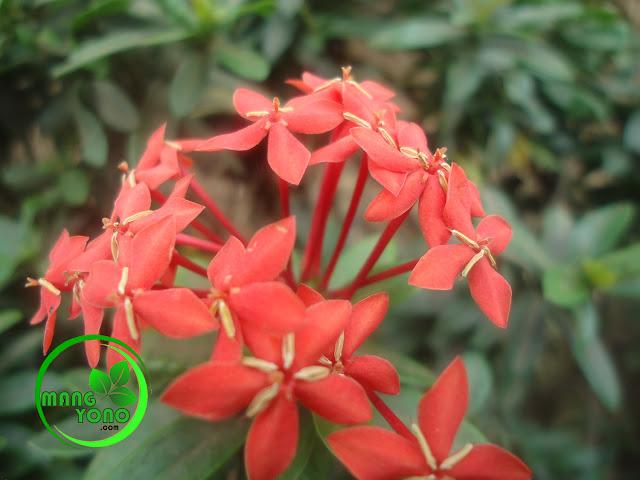 Bunga Asoka, Bunga Pengusir Sedih