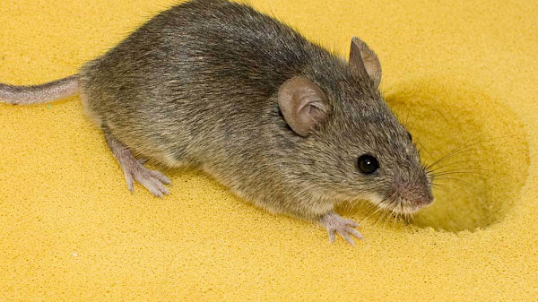 House Mouse - Mouse In House