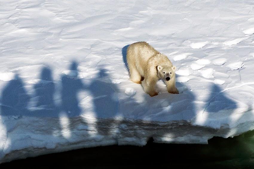 Oso polar se acerca a la embarcación