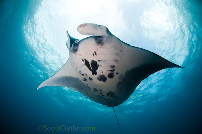 manata ray research in mexico
