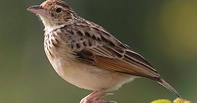 Mengenal Ciri Burung Branjangan Jawa Lengkap