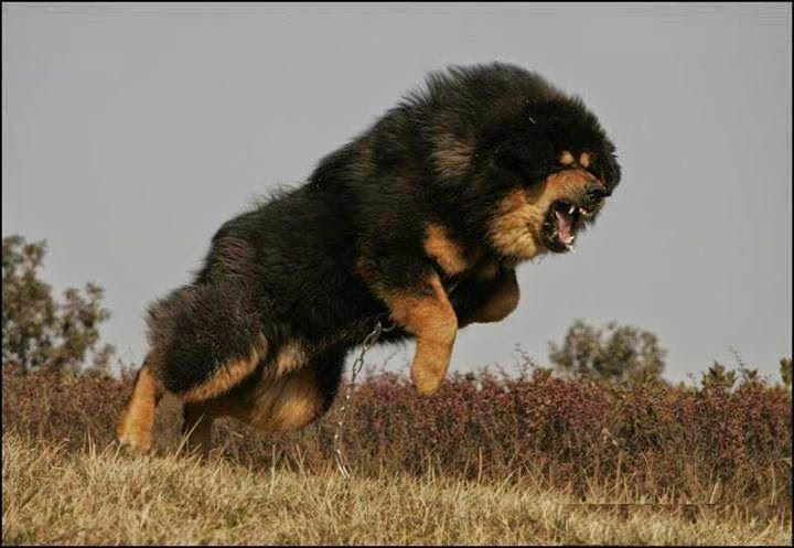 Angry Tibetan Mastiff, Tibetan Mastiff in Angry Mood, Tibetan Mastiff Angry Video,
