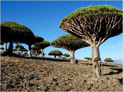 Copaci din Socotra