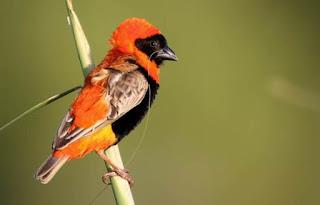 Foto Burung Manyar Merah Red Bishop Cara Merawat dan Harga Terbaru Update