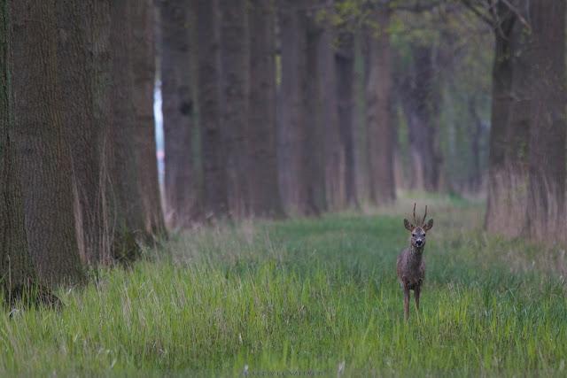 Reebok - Roe Deer - Capreolus capreolus