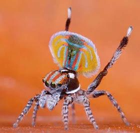 """""""عناكب الطاووس"""" أجمل عناكب العالم 4.jpg"""