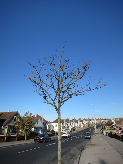 Young sycamore beside busy suburban road with very blue sky