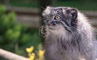 Pallas Cat Wallpapers
