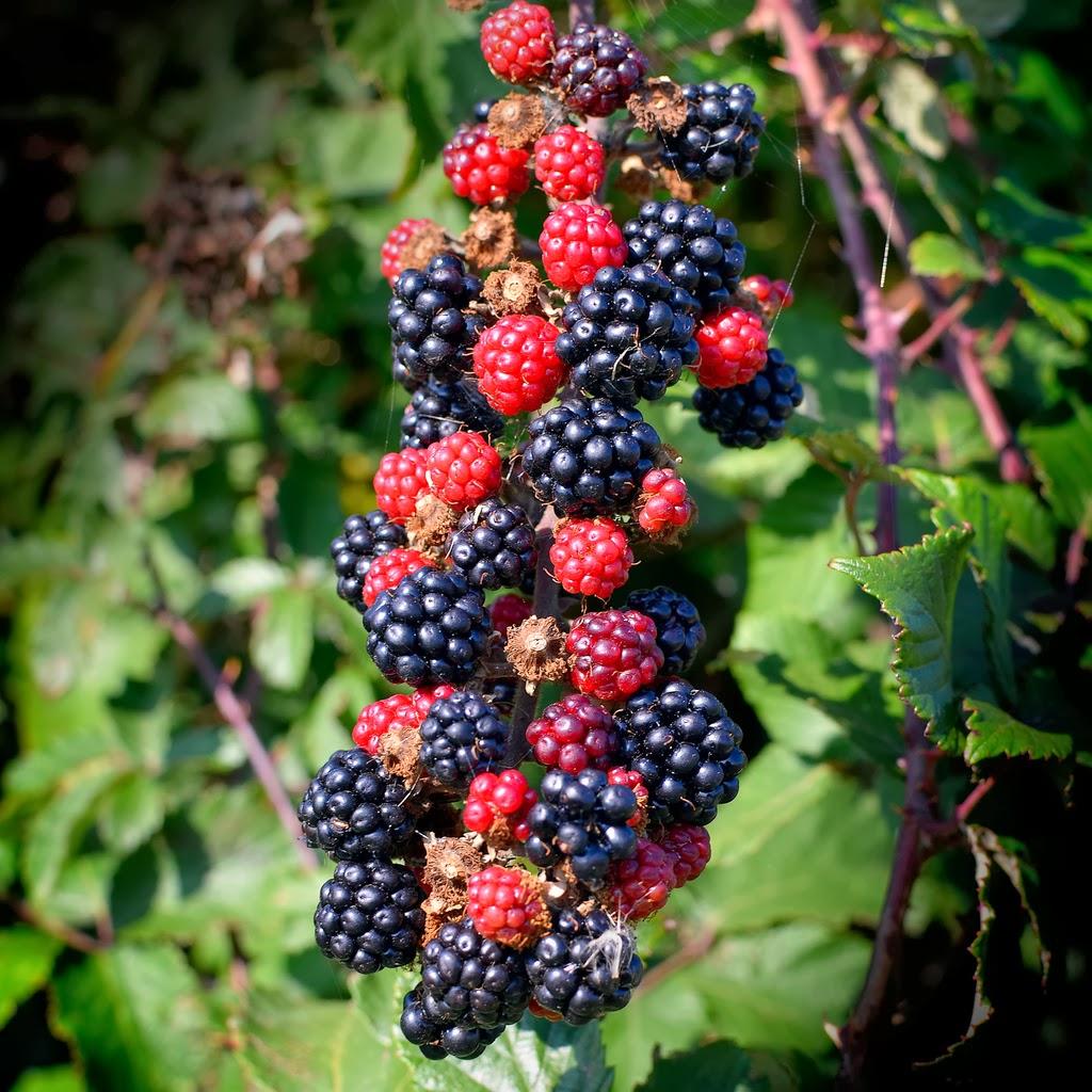 Species of UK: Week 31: Bramble ('Rubus fruticosus')