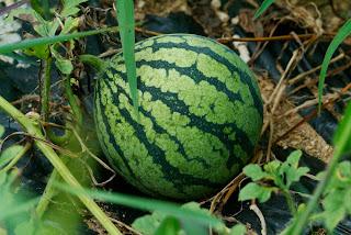Semangka adalah salah satu jenis tanaman yang merambat yang termasuk kedalam suku Cucurbitaceae (Labu-labuan). Buah semangka berbentuk bulat/lonjong dengan warna kulit luar berwarna hijau.