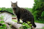 Kattliv i Sennan