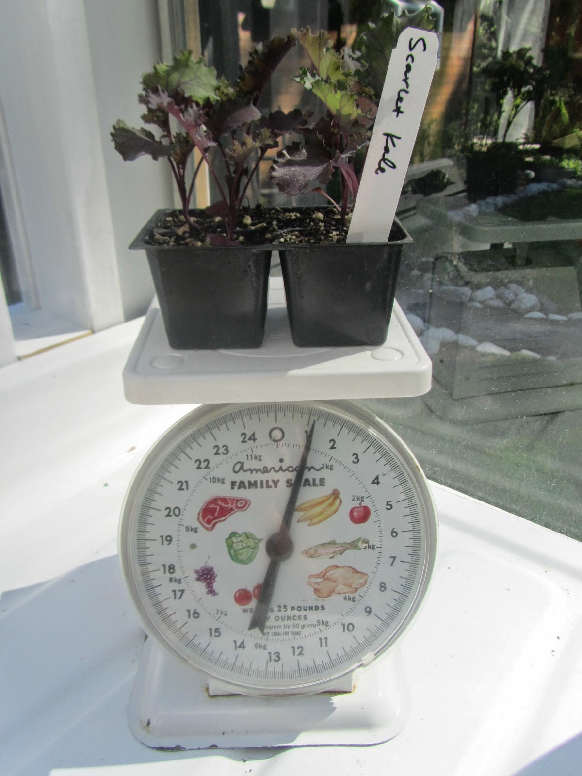 Scarlet Kale starts on an old kitchen scale in the greenhouse