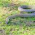 Venomous Snake Bites People in Their Sleep