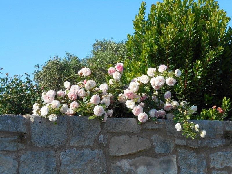 Lavanda rose il giardino della mia amica palmira - Giardino con rose ...