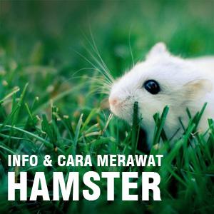 Info Tentang Hamster