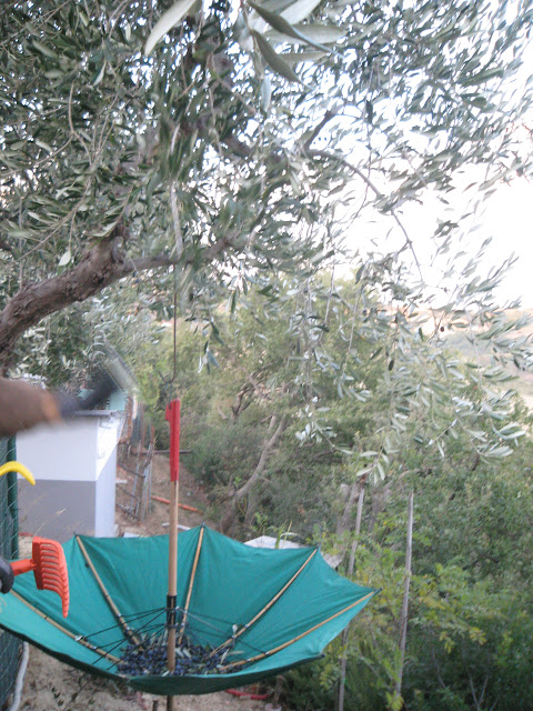 Olive picking with umbrella