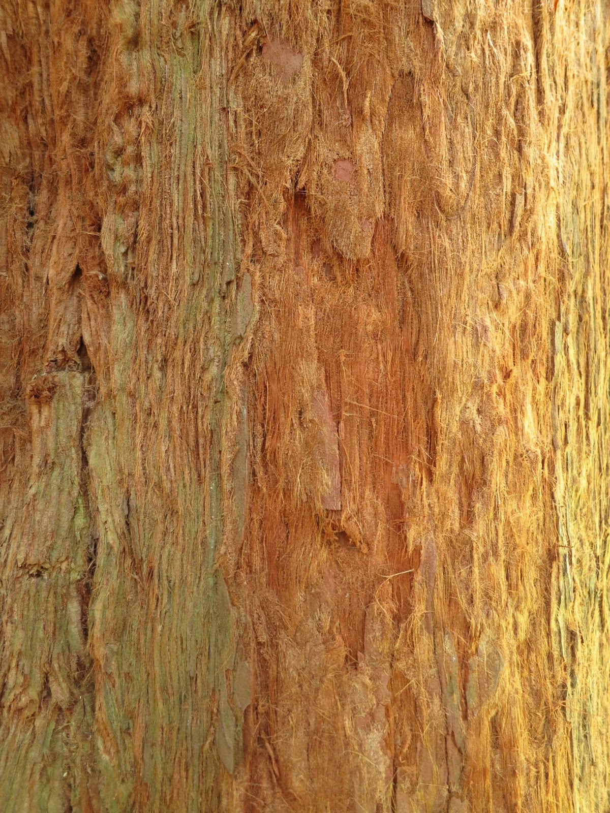 Trunk of tallest Redwood tree in the UK showing the fibrous texture of its bark.