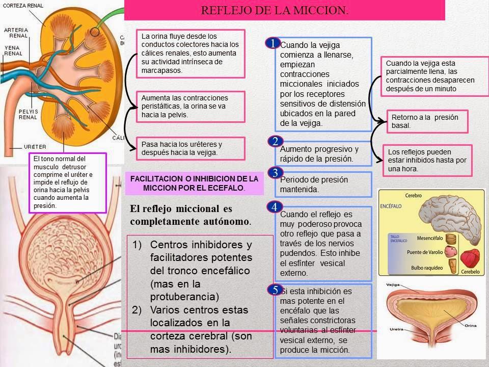 VEJIGA Y REFLEJO DE LA MICCIÓN. | Blog de Fisiología Médica