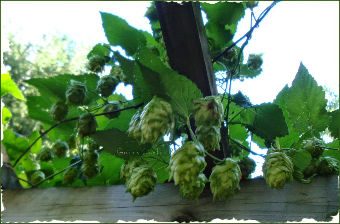 green - ripe hops heads - sign of autumn - fat hops head - photo