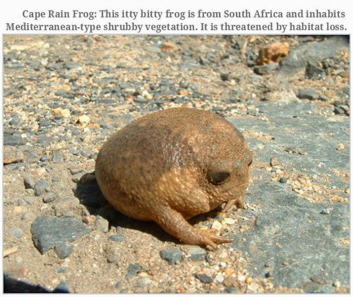 Weird animals (20 pics), strange animal pictures, cape rain frog