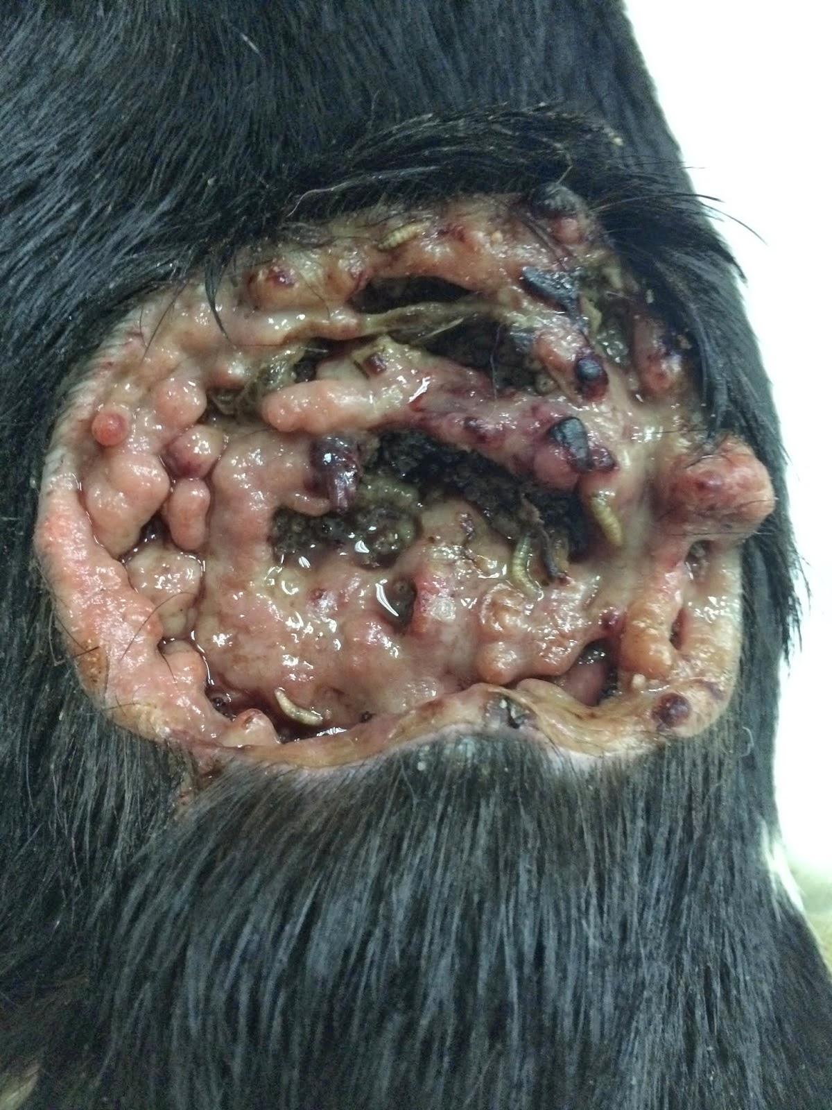 Can Myiasis Kill A Dog