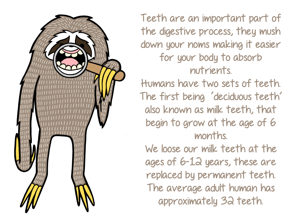 Not know. facts about adult teeth
