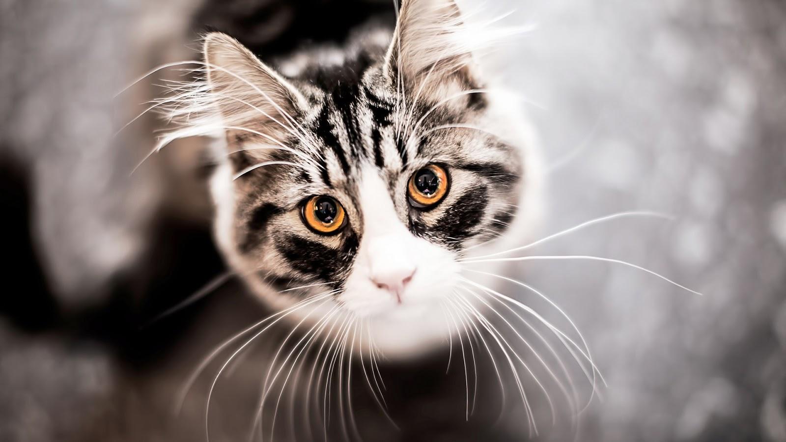 Cats Funny Face  Full HD Desktop Wallpapers 1080p