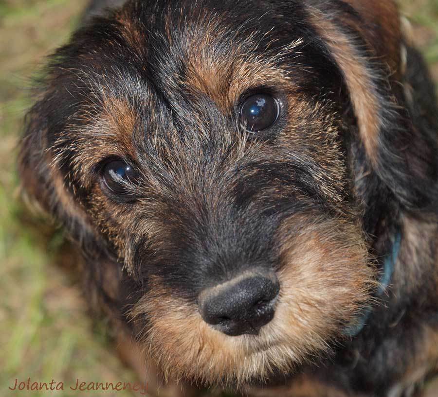 BORN-TO-TRACK BLOG: Tommy and Lily\'s puppies - when wirehaired ...