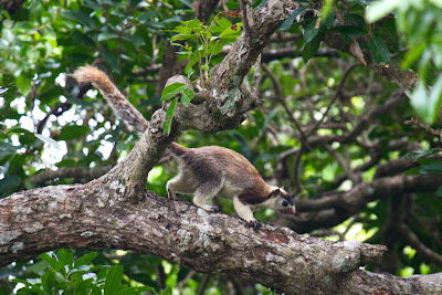 A photograph of a Grizzled Giant Squirrel taken in Anuradhapura, Sri Lanka
