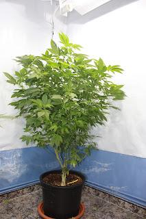 madre cannabis, mantenimiento de madres, cannabis indoor