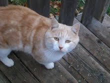 Orange and white cat, abandoned and abused