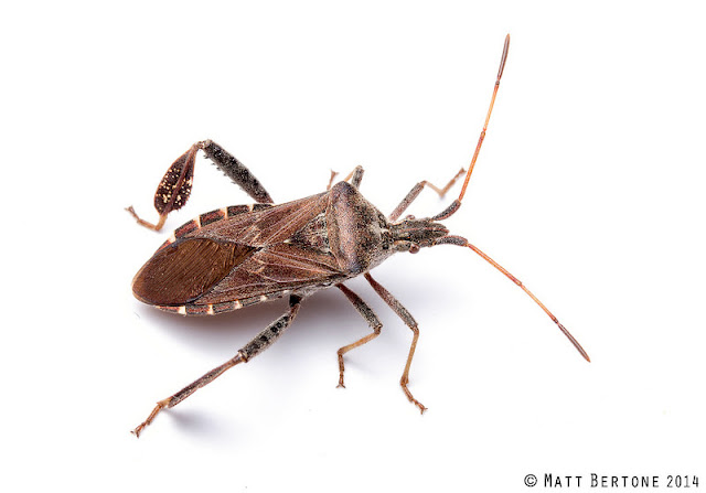 NCSU PDIC: Kissing Bugs and Chagas Disease in NC