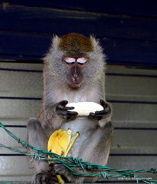 monkey stare at banana