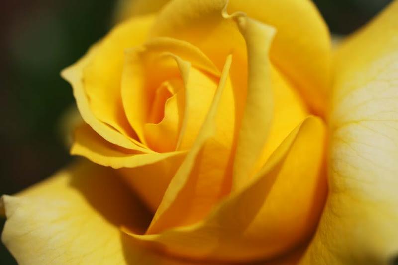 El significado de las rosas - Significado rosas amarillas ...
