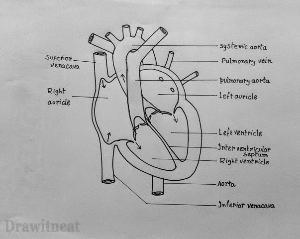 Draw it neat how to draw internal structure of human heart easy find more tutorials in index ccuart Gallery