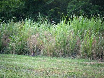 A tiny brown rabbit is barely visible; he's in a mown area right next to tall brushy grass