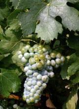 Merseguera | Variedades blancas de vino