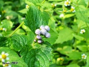obat sakit telinga herbal