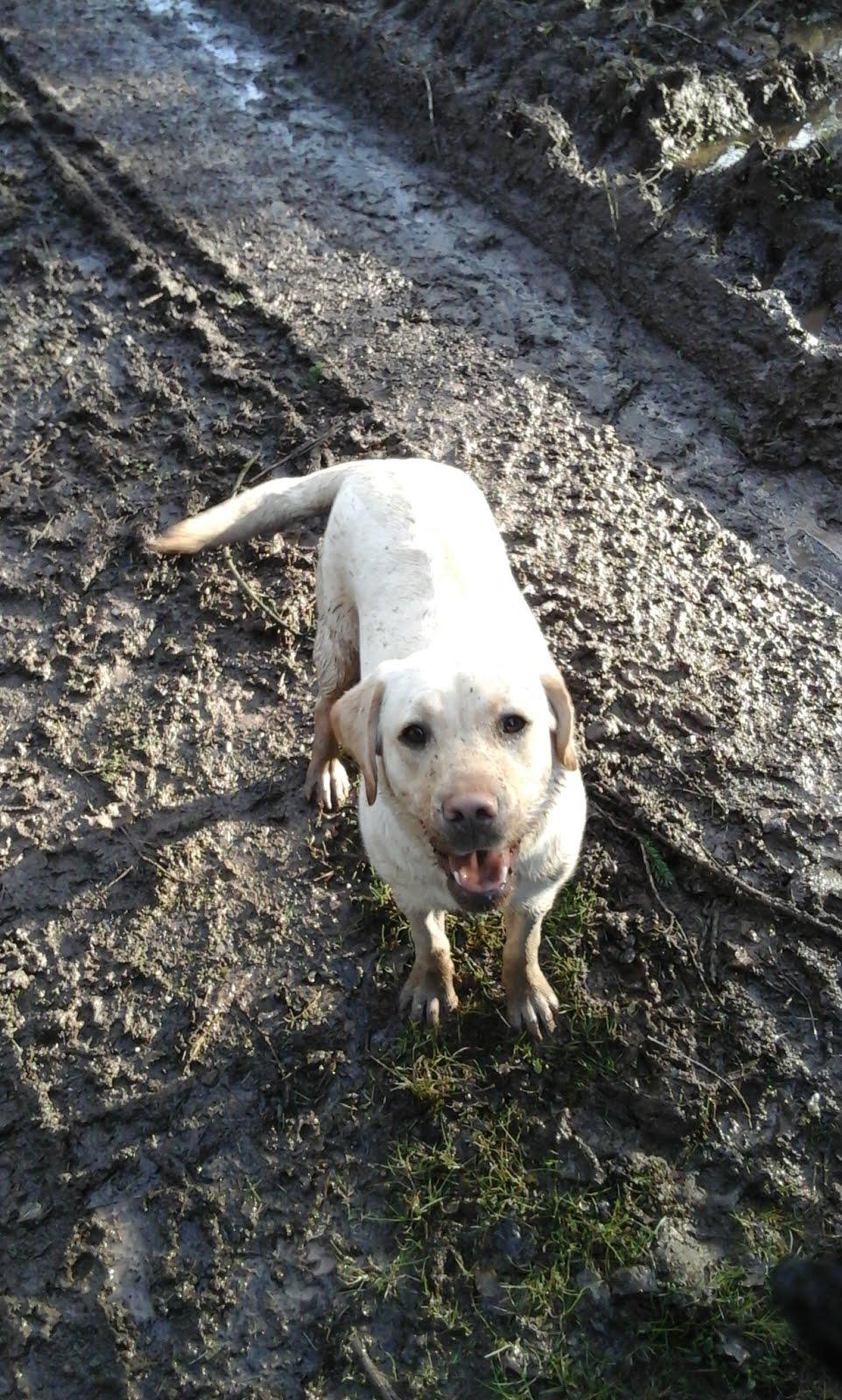 Hadley - Labrador Retriever